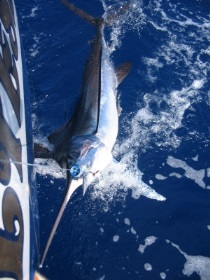 Blue Marlin catch between Montserrat and Guadalupe